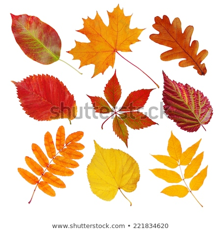 autumn leaves isolated set stock photo © fotoyou