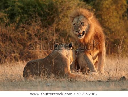 fej · zárt · oroszlán · arc · portré · állat - stock fotó © hedrus
