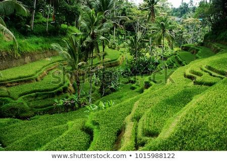 belo · arroz · vulcânico · bali · grama · paisagem - foto stock © galitskaya