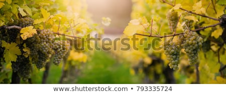 Colorful grapes and white wine Stock photo © karandaev