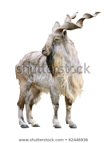 Markhor male (Capra falconeri) cutout Stock photo © DragonEye