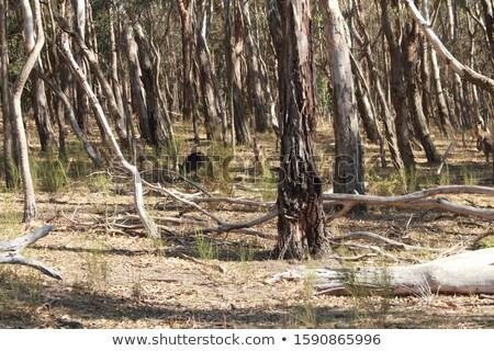 Australisch inlander kangoeroe landelijk wildlife Oost Stockfoto © lovleah