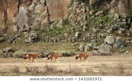 hunting ethiopian wolf, Canis simensis, Ethiopia Stock photo © artush