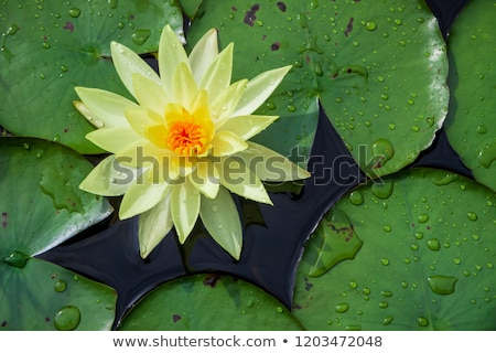 Yellow Water-lily Stock photo © igabriela