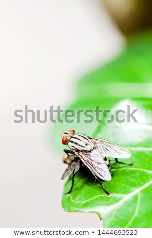 Two flies mating Stock photo © Arrxxx