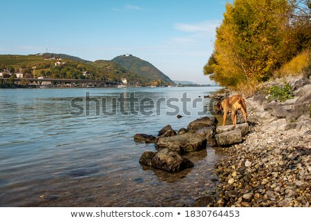 собака Дунай берег реки Золотистый ретривер живописный реке Сток-фото © simply