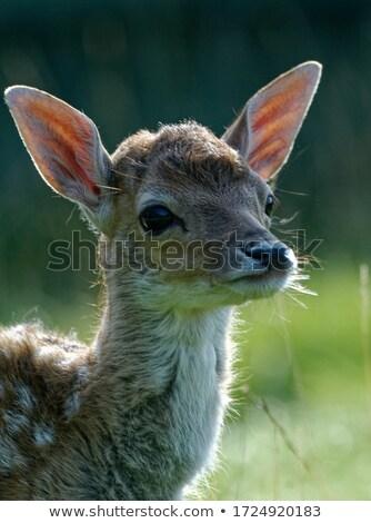 Herten reekalf profiel veld natuur jonge Stockfoto © taviphoto