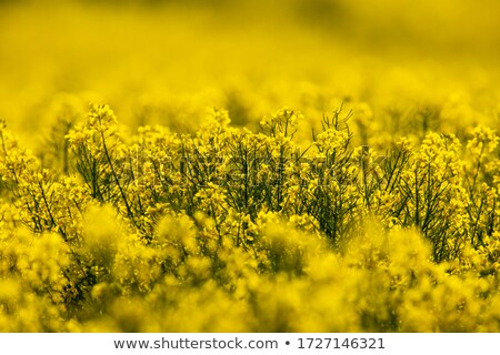 Stock photo: Canola Crop