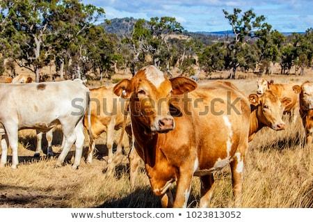 stier · australisch · rundvlees · vee · koe · boerderij - stockfoto © sherjaca