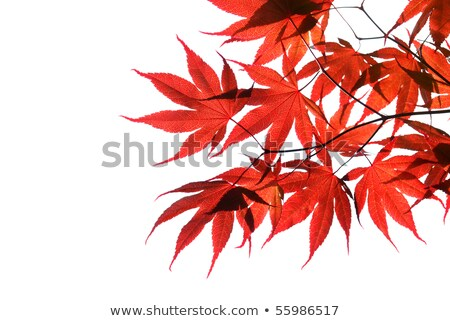 Red Maple tree leaf, back lit  Stock photo © 3523studio