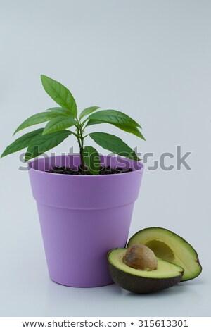 авокадо · завода · растущий · корней · стебель - Сток-фото © natalinka