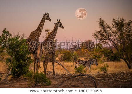 キリン · アフリカ · 満月 · 美 · 背景 - ストックフォト © Livingwild
