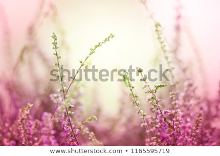 macro heather flowers in landscape Stock photo © ivonnewierink