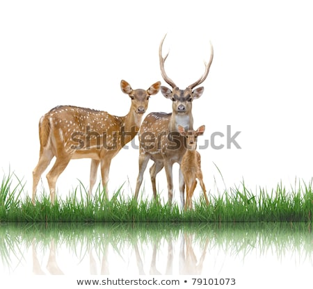 axis deer with green grass isolated stock photo © anan