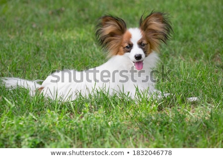 bonitinho · em · pé · branco · cão · beleza · amigo - foto stock © bigandt
