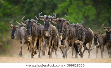 Herde · blau · Trinkwasser · Pool · Savanne · Südafrika - stock foto © searagen
