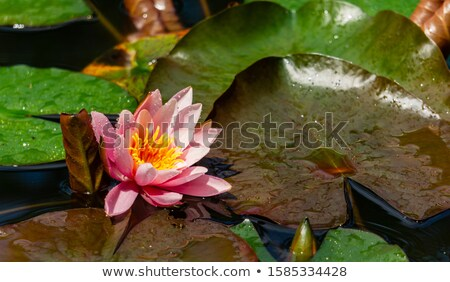 Aquatic plant leaves floating on water surface Stock photo © Mps197