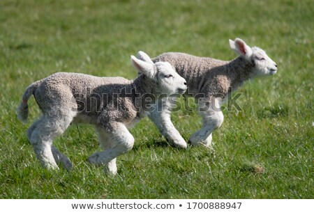 Stock photo: a couple of lamb brothers