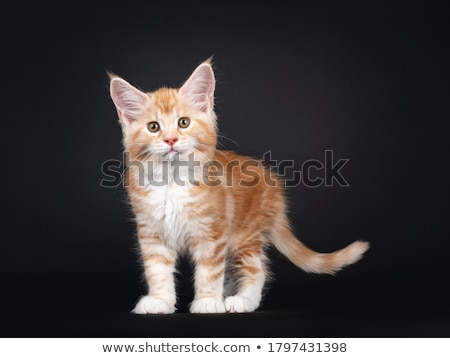 fofo · preto · gatinho · em · pé · branco · assistindo - foto stock © dnsphotography