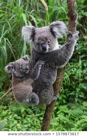 Baby koala climbing a tree Stock photo © lucielang