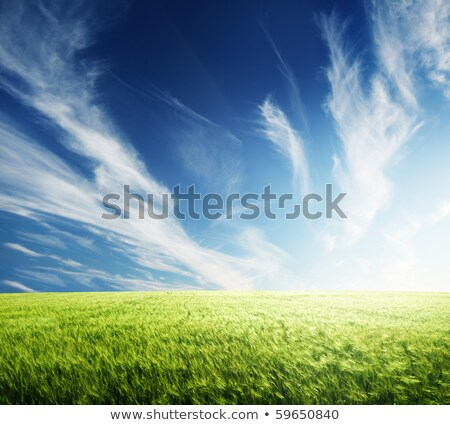 Barley spike on the blue and green bacgraund Stock photo © everelative