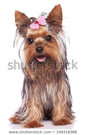 seated yorkshire terrier puppy dog stock photo © feedough