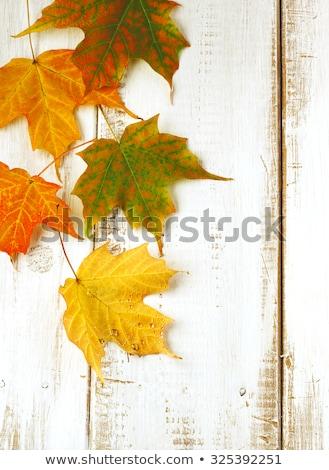 Dois outono maple leaf floresta natureza Foto stock © GeniusKp