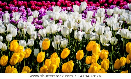 bouquet of pink purple and white tulips stock photo © neirfy