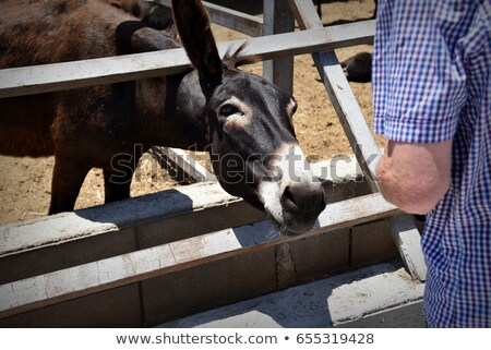 Donkeys seeking attention Stock photo © michaklootwijk