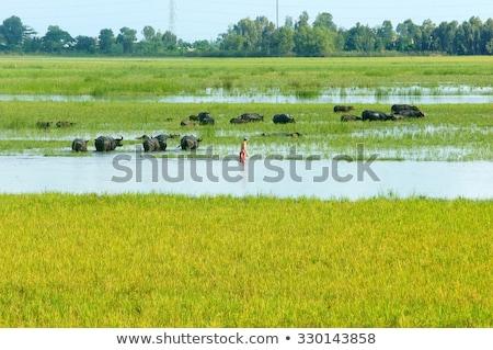 Landscape Mekong Delta Buffalo Flooded Rice Field Foto stock © xuanhuongho