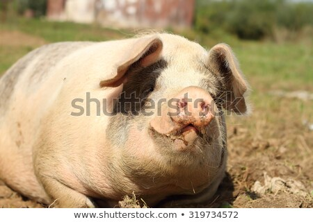 closeup of huge sow Stock photo © taviphoto
