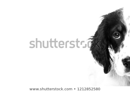 Stock photo: english setter portrait in a photo studio