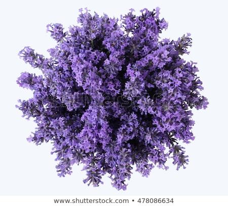 Сток-фото: лаванды · трава · цветок · изолированный · белый · лента
