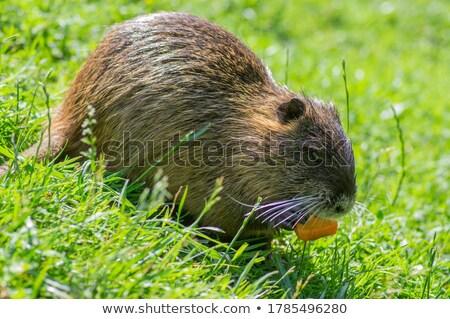 mangiare · carota · faccia · corpo · nero · mangiare - foto d'archivio © FOTOYOU