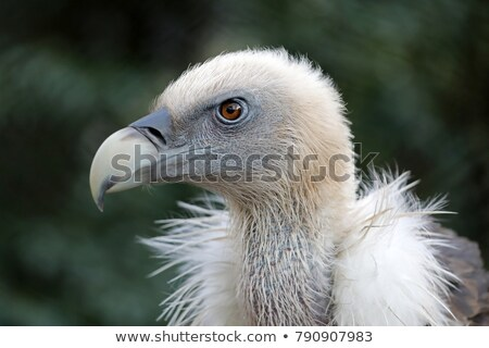 griffon vulture close up portrait stock photo © oleksandro