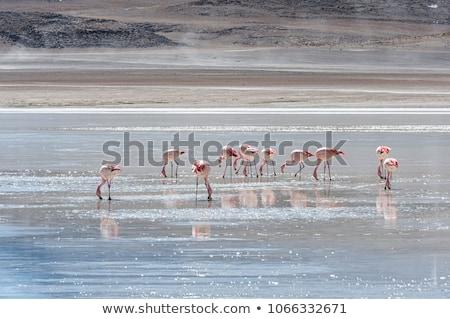 pink flamingos in altiplano laguna sud lipez reserva bolivia stock photo © daboost