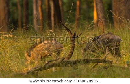 Dois selva ilustração árvore floresta Foto stock © bluering