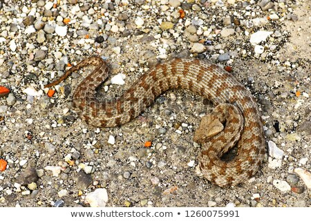 powerful blunt nosed viper, full length Stock photo © taviphoto