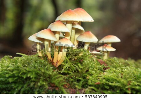 clustered woodlover or Hypholoma fasciculare in autumn forest Stock photo © LianeM
