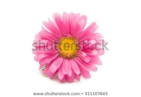 pembe · papatya · çiçekler · güzel · taze - stok fotoğraf © simply
