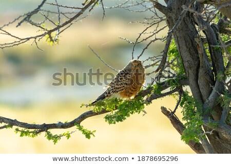 Намибия Safari живая природа дерево среда обитания Blue Sky Сток-фото © artush
