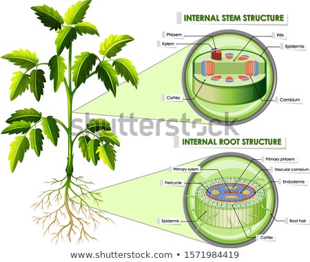 Diagram showing structure of stomata Stock photo © bluering