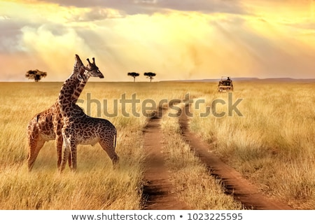 African Safari Park Landschaft Giraffe Sand Stock foto © barsrsind