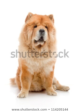 Studio shot of an adorable Chow Chow Stock photo © vauvau