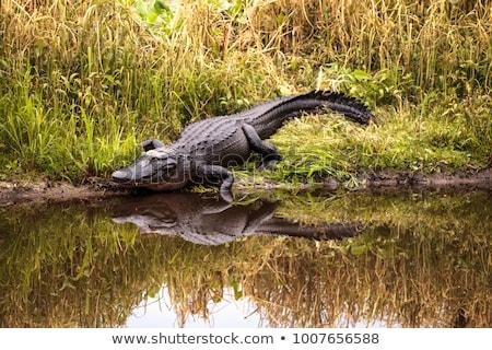 aligátor · fej · közelkép · vad · szem · fű - stock fotó © stephaniefrey