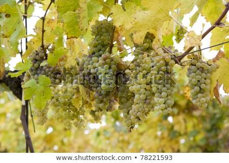 vineyards eko hnizdo czech republic stock photo © phbcz