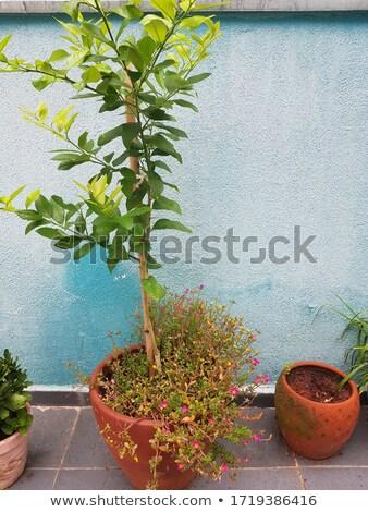 lemon on tree 01 Stock photo © LianeM