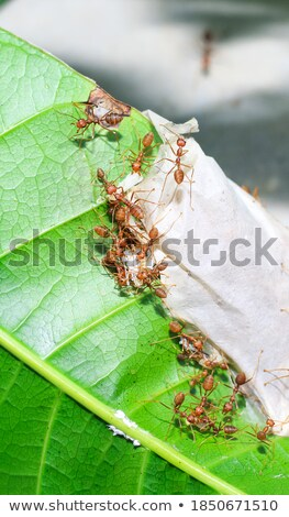 red ant power strong stock photo © sweetcrisis