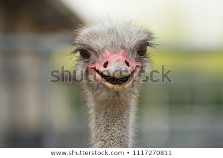 smiling ostrich stock photo © acidfox