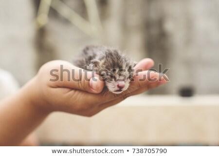Foto stock: Recém-nascido · gatinho · mãos · palma · gatos · animal